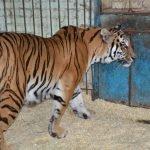 Тигр в вольере Нальчикского зоопарка