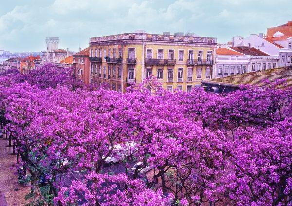 Цветущие деревья жакаранды на улице Лиссабона