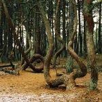 «Танцующий» лес