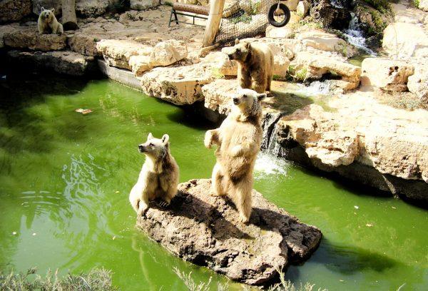 Белые медведи в зоопарке семьи Тиш