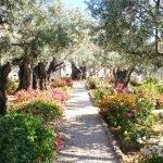 Древние оливковые деревья в Гефсиманском саду