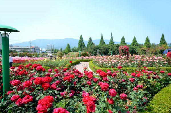 Кустарники роз цветут в весеннем саду