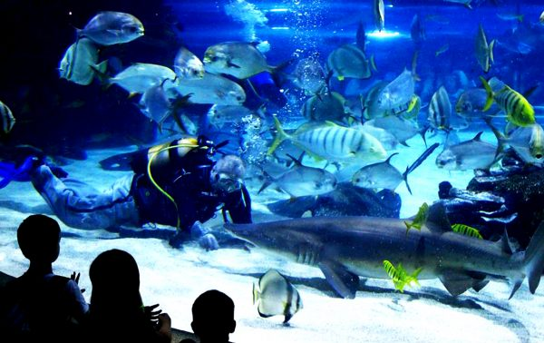 Водолаз кормит акулу в аквариуме