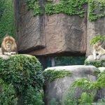 Львы в Lincoln Park Zoo