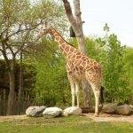 Жираф в Lincoln Park Zoo