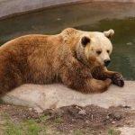 Бурый медведь в зоопарке Коркеасаари в Хельсинки