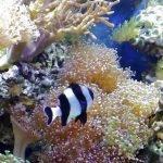 Рыбка Дасцилл среди кораллов