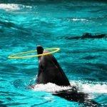 Дельфин с обручем
