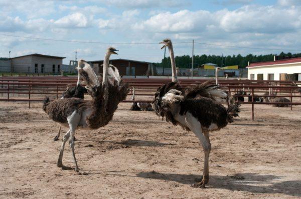 Ферма «Русский страус» возле Серпухова
