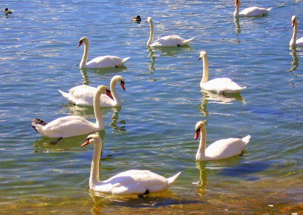 Лебеди на Женевском озере