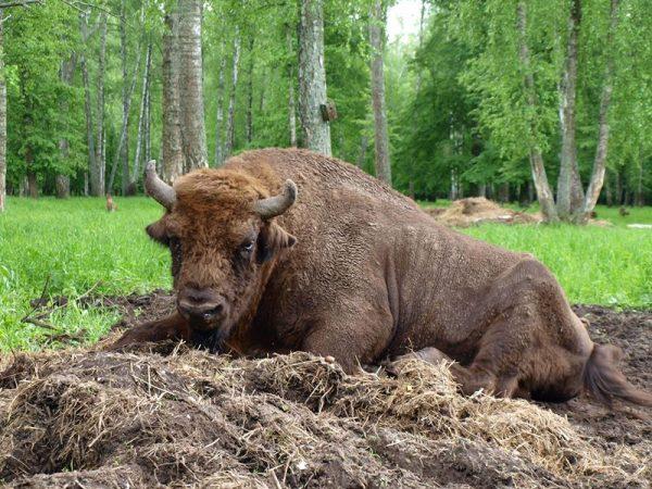 Зубр в Приокско-Террасном заповеднике