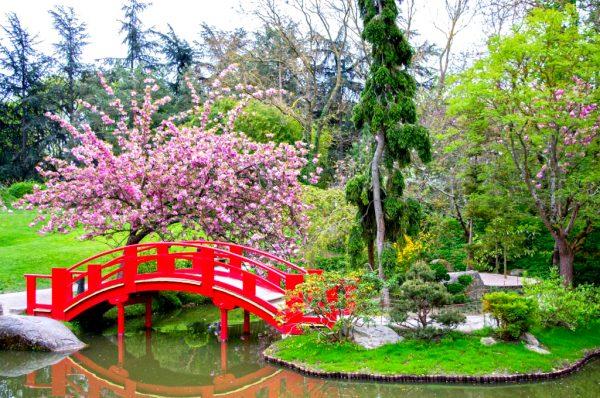 Красный мост и цветущая сакура в Японском саду