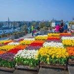 Тюльпаны разных расцветок на фестивале в Амстердаме