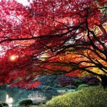 Красные клёны в осеннем парке Коисикава