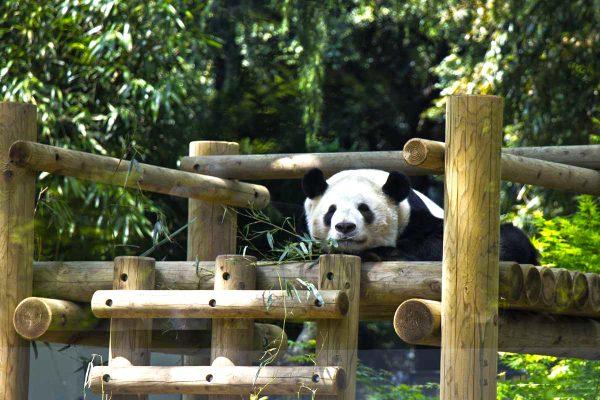 Панда лежит на бревнах в зоопарке