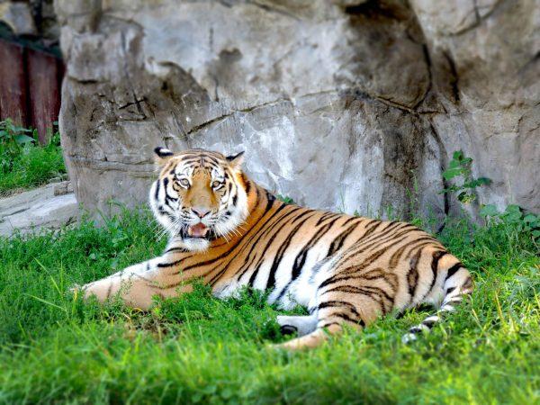 Тигр в зоопарке Брно