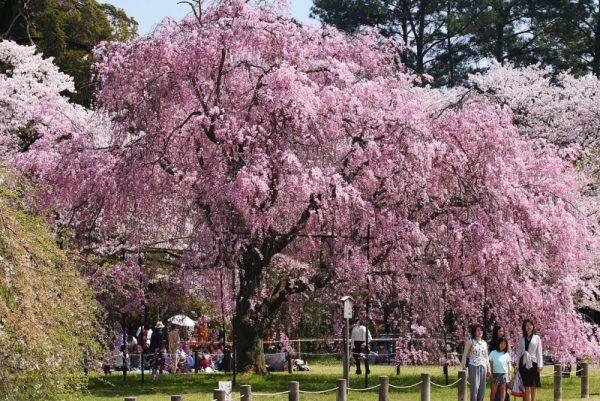 Сакура парка