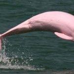 Розовый дельфин выпрыгивает из воды
