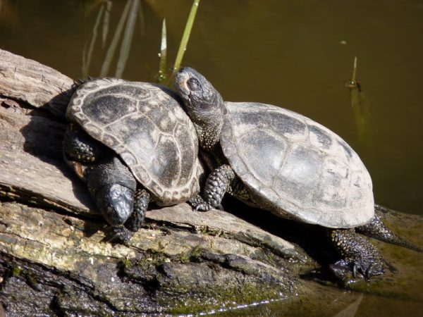 Черепахи в террариуме Штайна