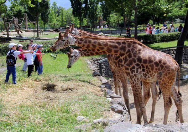 Жирафы в зоопарке Гаваны