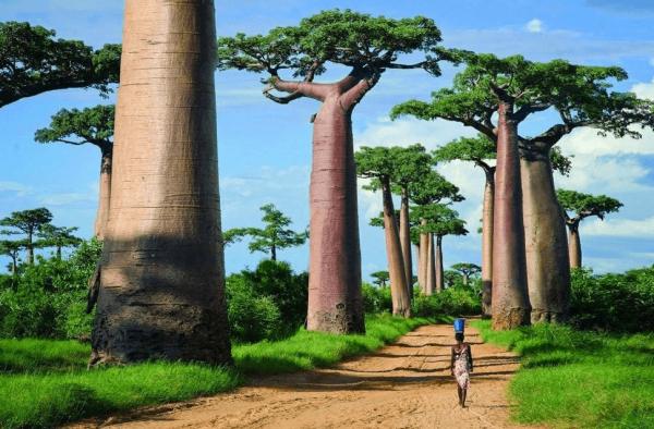 Девушка идёт по дороге между деревьями баобабов