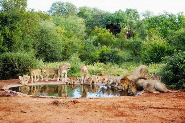 Львы на водопое в парке Крюгера