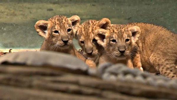 Три львёнка