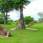 Жирафы в зоопарке Майами