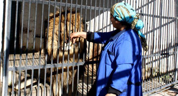 Работница зоопарка гладит льва в клетке
