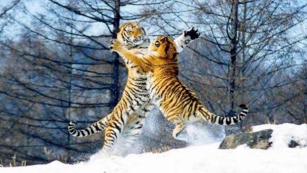 Парк тигров в Харбине